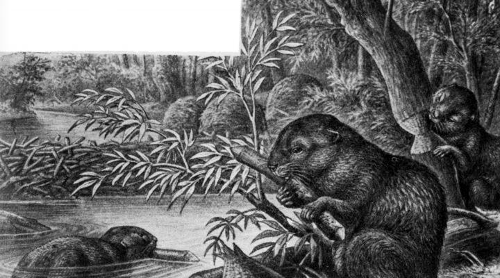 Svart-hvitt illustrasjon av en beverdam i skogen. I forgrunnen gnager en bever på en kvist, mens i bakgrunnen svømmer en annen bever i dammen.